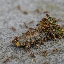 Mieren eten rups?