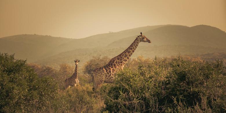 Giraffa - Giraffen aan de wandel in het indrukwekkende Mkhuze Game Reserve, een savanne gebied met een woud van voornamelijk esdoorns.