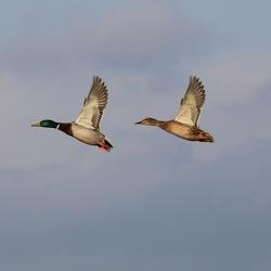 Eendenpaar in vogelvlucht