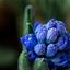 Een Hyacinth in de regen