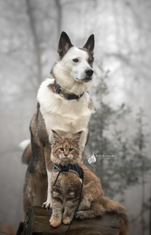 Leeuwin en Namilla - Leewin de Maine Coon met haar hondenzus Namilla