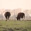 DSC_1392  Al koeien buiten.