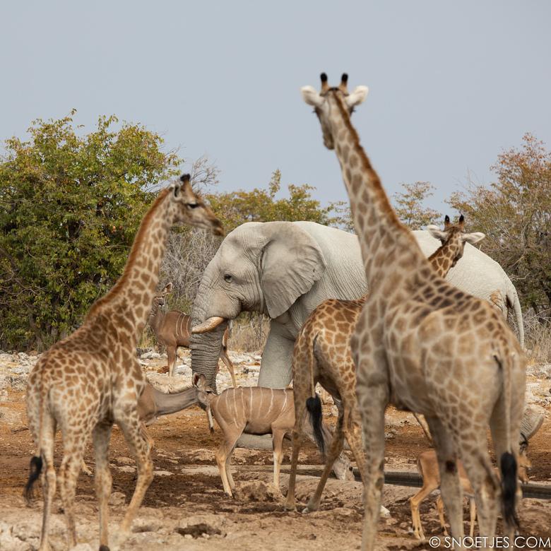 drukte bij de waterplaats - Winter in Afrika betekent drukte bij de waterplaats. Zoveel soorten bij elkaar in relatieve rust