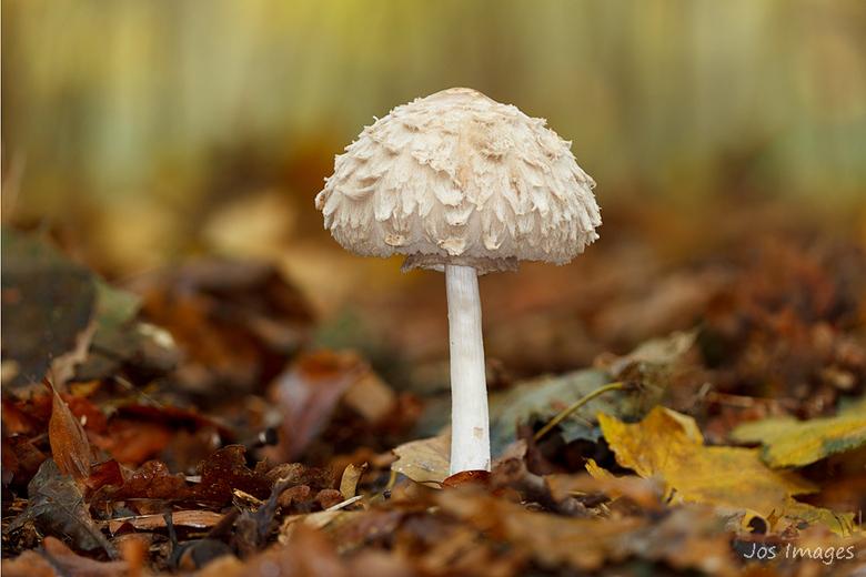 Sombere knolparasolzwam - Stond er prachtig bij in het bos.<br /> Gebruik gemaakt van focus=stacking met 5 foto&#039;s.<br /> Groet,<br /> Jos