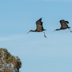 zwarte ibis herzien 2