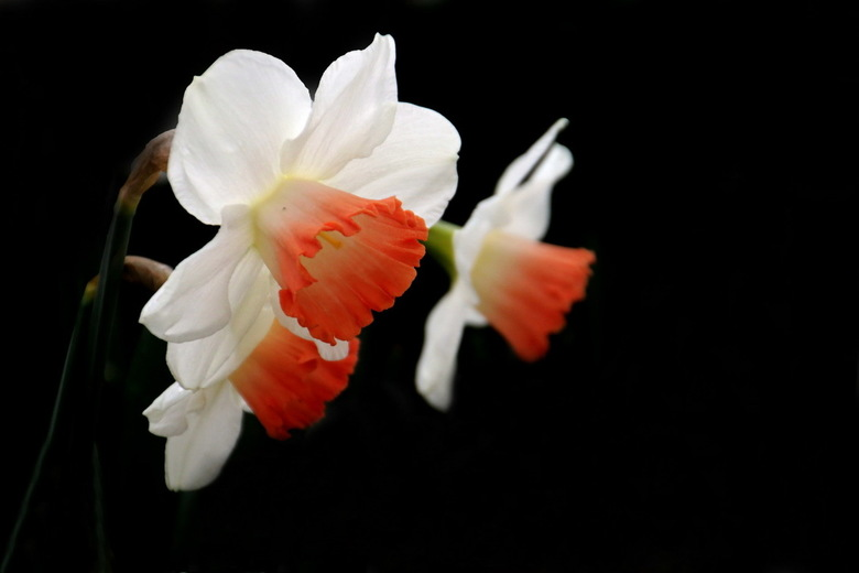Narcissen -2-