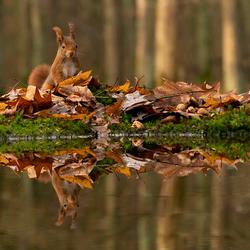 Weerspiegeling eekhoorn in de herfst