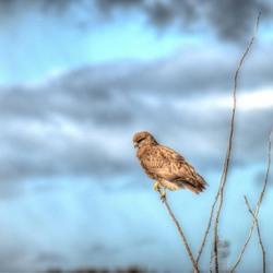 Geluksvogel