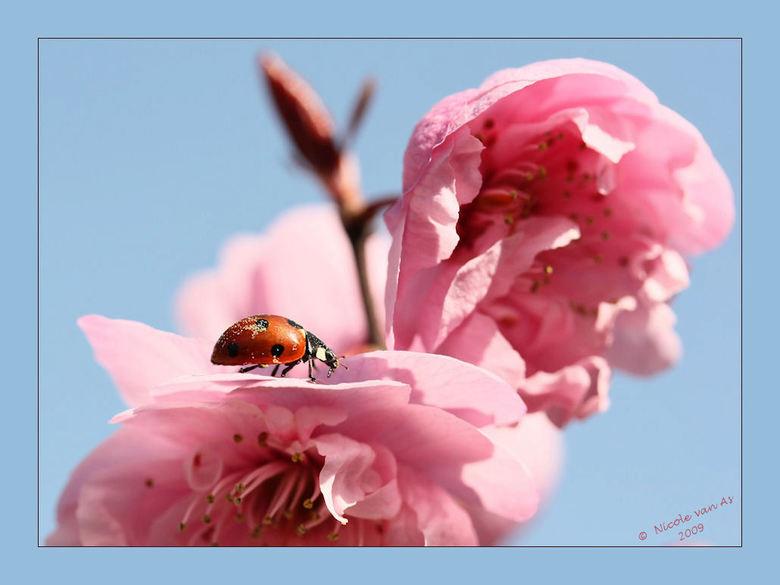 Eindelijk bloempjes..... - Eindelijk bloesem in de prunus.<br /> <br /> Zo dacht het lieveheersbeestje er ook over, grondig werden de bloempjes gein