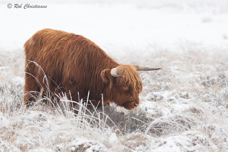 Schotse Hooglander - Nog een Schotse Hooglander van de periode dat er sneeuw lag in Nederland. Was naar de Terletse Heide op de Veluwezoom geweest. Er