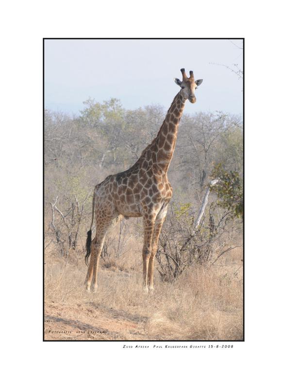 Kameelperd - Kameelperd is de naam die Zuid Afrikanen geven aan de Giraffe. Dit indrukwekkende beest heb ik in het Paul Krugerpark kunnen fotograferen