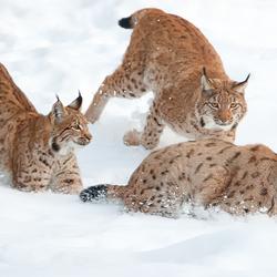 Spelende Lynxen