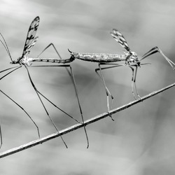 langpootmuggen op evenwichtsbalk
