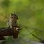 eekhoorntje in het groen