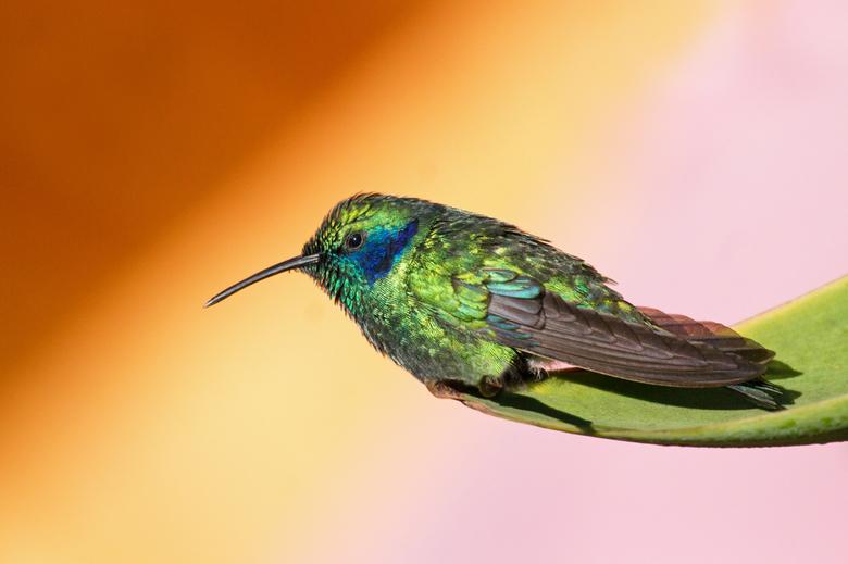 Kolibrie - Er zijn tientallen soorten kolibries, van klein naar nog kleiner.... En dat ze heel snel fladderen weet iedereen denk ik wel. Het was een h