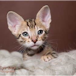 Savannah Kitten 2