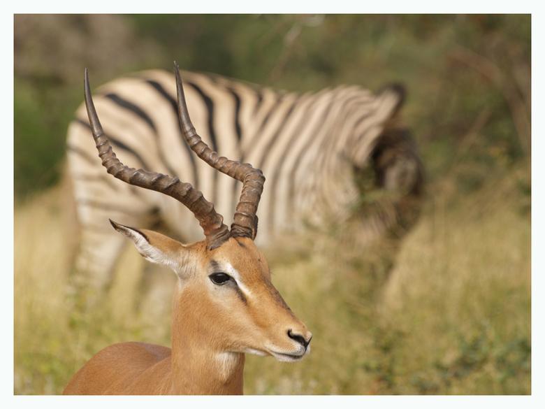 Impalabok - dierenrust in het Krugerpark te Zuid-Afrika