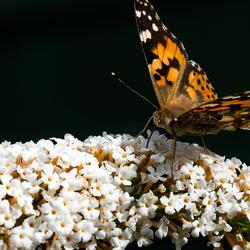 Distelvlinder in de tuin