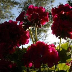 een rode bloem in de avond