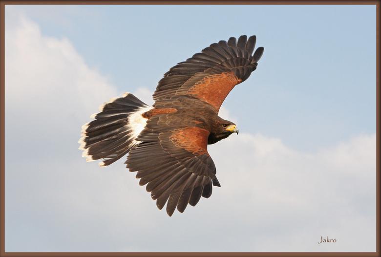 in vlucht - roofvogel in vlucht