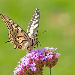 LvdAa - vlinders - Koninginnepage - 1763 W35 2019 Best Thuis