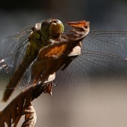 roodbruine heidelibel; vrouwtje