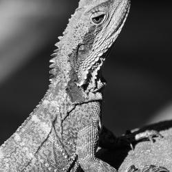 Water dragon (lizard)