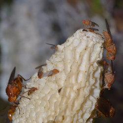 Phallus Impudicus (Stinkzwam)