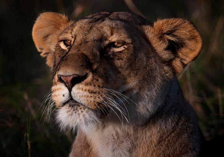 Portret van een Leeuwin - In het avondlicht 17.05 uur ontdekte ik deze Leeuwin. Plots zag zij in de verte een prooidier, echter zij besloot deze niet