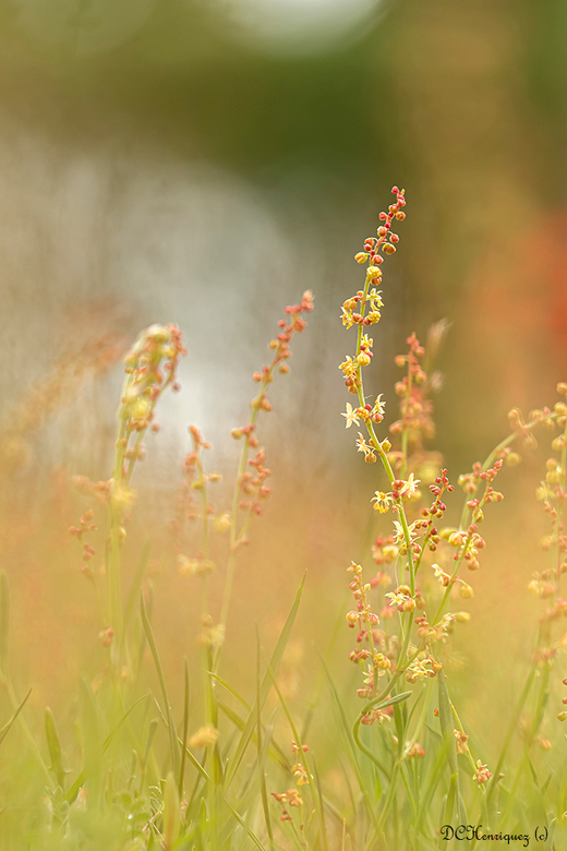 """Zuring  - Zo&#039;n mooi klein plantje dat je bijna aan voorbij zou lopen  <img  src=""""/images/smileys/smile.png""""/><br /> <br /> Iedereen bedankt voo"""