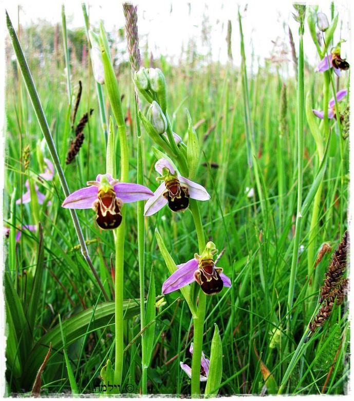 Bijenorchissen.... - Tussen het hoge gras stonden deze bijenorchissen....zeldzaam mooie bloemen!