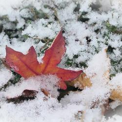 Herfstblad in de sneeuw