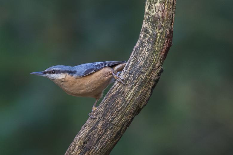 Prachtige houding van een boomklever - Een van mijn favoriete vogels om te fotograferen.
