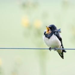 Jonge zwaluw met praatjes.