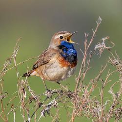 Blauwborst zingt