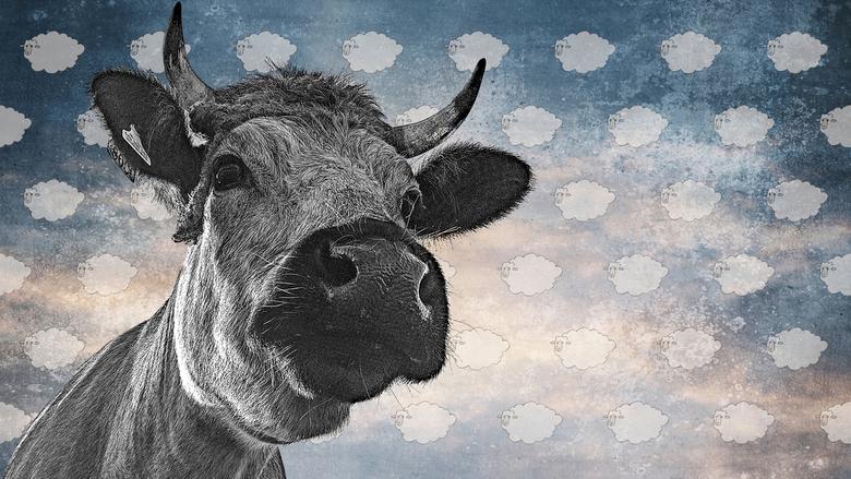 Koe met schaapjeswolken