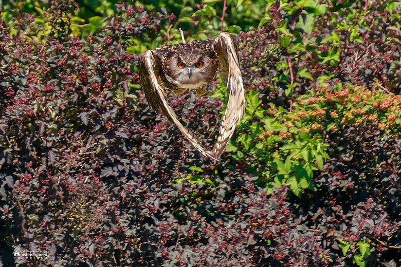 Diergaarde Blijdorp - Een vliegende oehoe (Bubo bubo) in Diergaarde Blijdorp tijdens de vogeldemonstratie.
