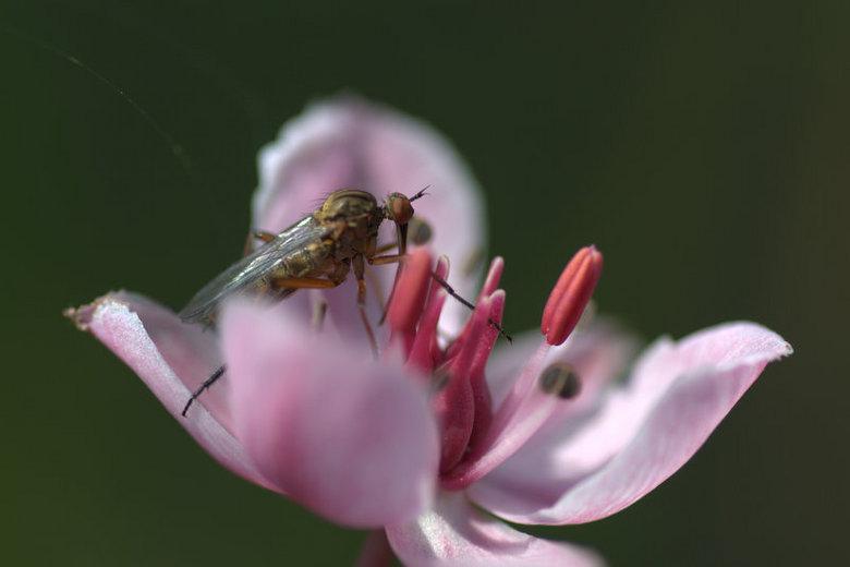 beestje - vlieg op zwanenbloem