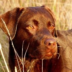 Gouden hond