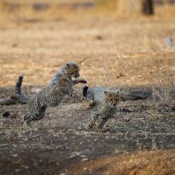 Spelende Cheetah babies