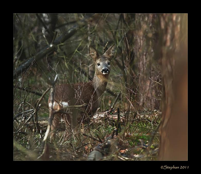 Dichtbij en onverwacht - Tijdens een korte wandeling door het bos, stond op een gegeven moment onverwacht deze reegeit tussen de struiken.<br /> Ik w