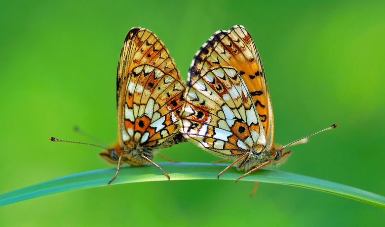 Show of Wings - Show of Wings(Boloria selene)