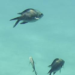 Monniksvis of zwaluwstaartvis (Chromis chromis)