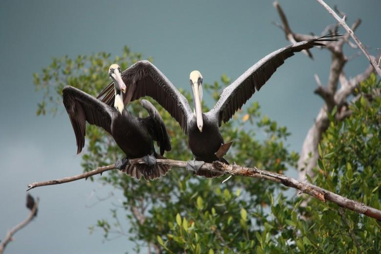 Spanning in de mangrove -