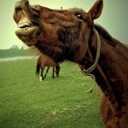 Paardebek