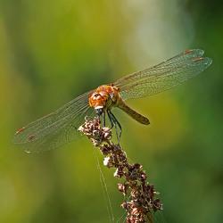 Bruinrode heidelibel met prooi