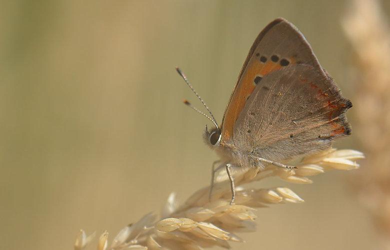 Lycaena Phlaeas (Kleine Vuurvlinder) - De vliegtijd in Nederland en België is van maart tot en met oktober, in twee of drie jaarlijkse generaties. De