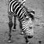 Zebra jong