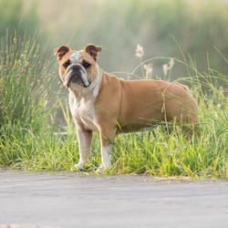 Bumper de bulldog