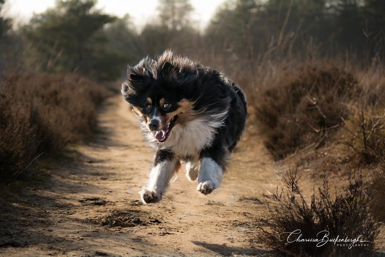 Happy dog - Deze vrolijke Australische Herder loopt graag vrij in de natuur.